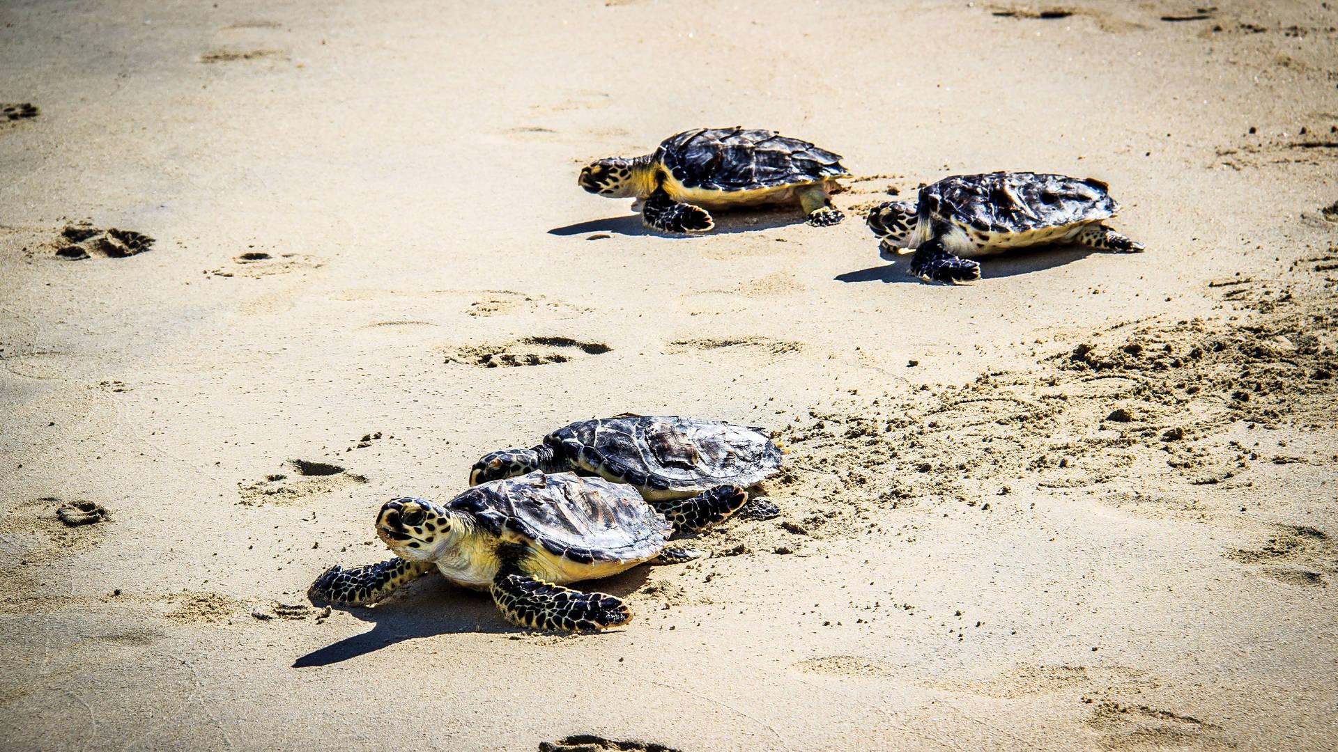 Burj Arab Turtle Release