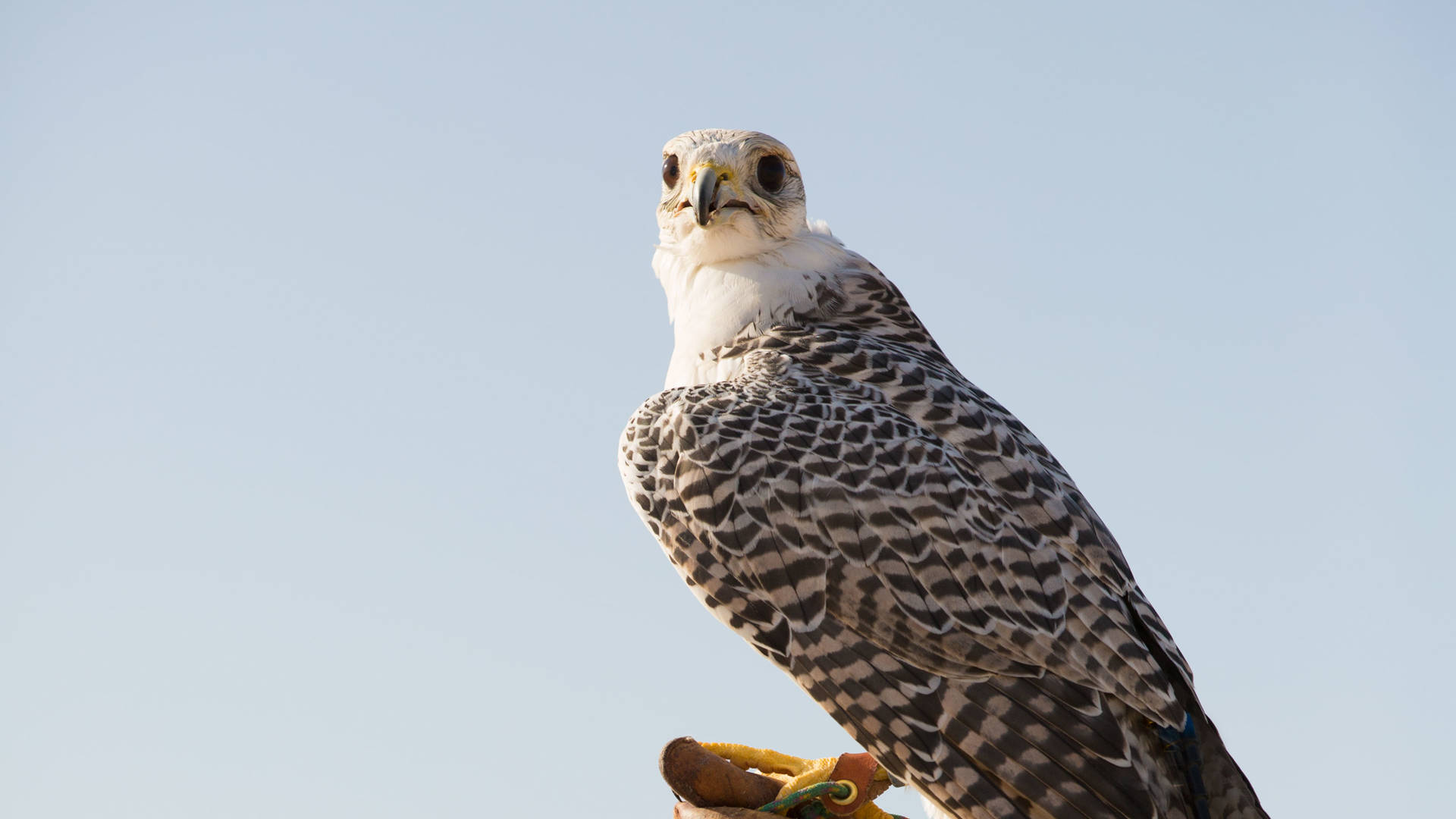 Falcon being trained