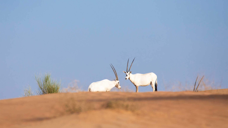 16-9 secret Copy of Arabian oryx
